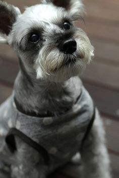 Miniature Schnauzer by Teruomi Itou  my babies (except mine are solid black)