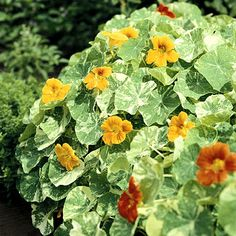 Nasturtium - Easy to start from seed! Starting Tips: Nasturtium seeds have a tough coat. Soak the seeds in water for 12 to 24 hours before sowing. they usually sprout in about a week. Edible Flowers, Colorful Flowers, Beautiful Flowers, Companion Gardening, Growing Tomatoes In Containers, Annual Flowers, Organic Seeds, Flowering Vines, Garden Care