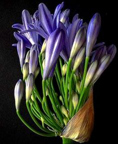 Botanical Flowers, Leaf Flowers, Botanical Art, Wild Flowers, Purple Flowers, Beautiful Flowers, African Iris, Virtual Flowers, Fruit Photography