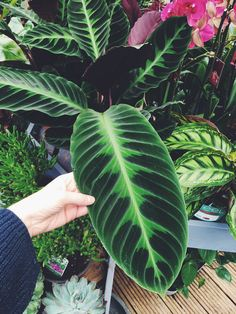 To keep your indoor houseplants healthy and thriving they will occasionally need to be pruned or re-potted. The process is very similar to the plants and just Exotic Plants, Green Plants, Tropical Garden, Tropical Plants, Inside Plants, Plants Are Friends, Calathea, Cactus Y Suculentas, Plant Decor