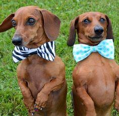 ❤️ #dachshund