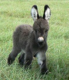 Awe, fuzzy little donkey with fuzzy ears!