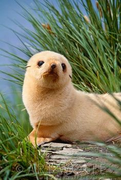 """An Antarctic Fur Seal Pup:  """"Excuse me? WHY exactly do I need your 'seal' of approval?!"""""""