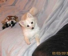 Cassey is an adoptable Pomeranian Dog in Council Bluffs, IA. Cassey is a beautiful little blond 4.5 pound female Pomeranian . At only 5 months old she is doing excellent on her potty training and love...