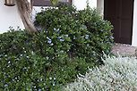 Hedge foundation planting of native plant, California lilac (Ceanothus) shrub planted against stucco wall with gray foliage Plecostachys serpyllifolia in drought tolerant garden in Santa Barbara, California, spring