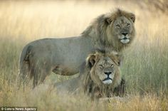 CONFIRMADO!! El león Jericho, hermano de Cecil, esta vivo!!! No fue asesinado por cazadores furtivos | Seamos Más Animales... Como Ellos