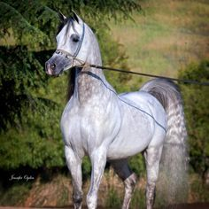 *Farazdac (Alaa El Din x Farasha [Sid Abouhom x Yosreia, who was also dam to Mohga and Aswan] 1966 grey SE stallion bred by EAO, Egypt - full brother to National Champion *FALEH