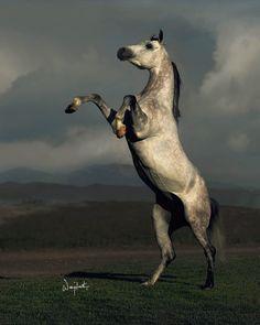 toknow-thearabian:    HDC Ibn Gazal Al Shaqab  *Gazal Al Shaqab X Emiria  Photo by Wojtek Kwiatkowski    Arabian beauty.