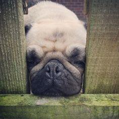 Mum says I'll never make a guard dog cos I fall asleep on the job .. It was only a short nap says Mabel.. Honest...  #weeklyfluff #tuesday #goodtimes #pugbasement #feature_do2#dogsofinstagram #pugmob #pugnation #zerozeropug #puglove #smilingpugs #pugrequest #flatnosedogsociety #TheTomCoteShow #pugsandkisses #puglife #insta_dogs #sendadogphoto #Beoncanadianpugs #pug #lacyandpaws #speakpug #pugsofinstagram #pugs #pugsproud_feature #dogs #pugsloversclub #cutepugsonly #cutepugs #srslycute by…