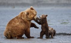 Brown bear cub gets its mother in a muzzle-lock. Photo by Michael Pollack. 2012 National Wildlife Photo Contest entry, Baby Animals category.