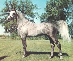 DORIAN BAMBIZON  (Bamby x Amye, by Ferzon) 1970-1981 grey stallion bred by MK Miller; sired 33 registered purebreds