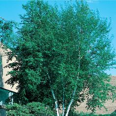 19.5-Gallon Whitespire Clump Birch Feature Tree (L3818)