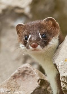 Stoat baby. (It's a species of weasel)