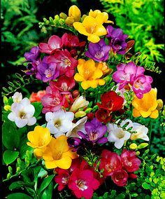 Flowers: Garden Freesia Mix ® - Scientific name: Freesia sp. Exotic Flowers, Amazing Flowers, Beautiful Flowers, Freesia Flowers, Bulb Flowers, Different Types Of Flowers, Trees To Plant, Spring Flowers, Planting Flowers