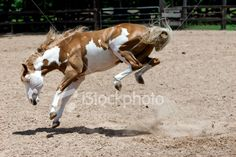 Bucking Horse with All 4 Feet in the Air Royalty Free Stock Photo