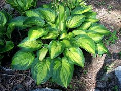Hosta 'Jabulani'
