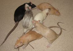Great website on Rat care