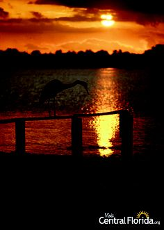 A heron on a handrail as the sun sets on a Central Florida lake. #CentralFL