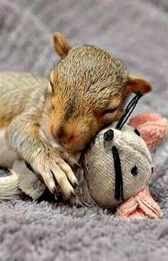 Orphaned baby squirrel with its stuffed animal