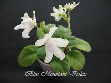 "African Violet ""Lunar Lily White"""