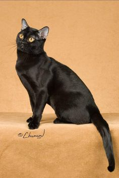 This American breed is called the Bombay because its intensely black coat is reminiscent of that of an Indian Black Leopard. It's also known as a Black Burmese, because this breed came about after crosses with a sable Burmese and a black American Shorthair.