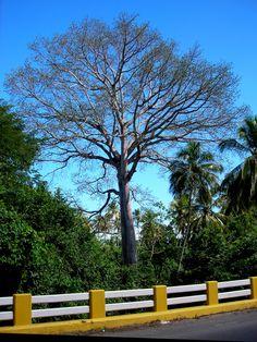 https://flic.kr/p/yB4yt   Plantas de Venezuela: Ceiba   Ceiba pentandea Gáerth BOMBACACEAE