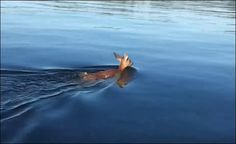 White Wolf: Fishermen help rescue baby deer in Tacoma Narrows (Video)