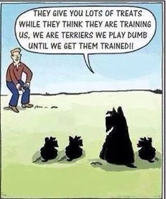 A Scottish Terrier would never lower themselves to play dumb. Westies do this too. Cairn Terriers, Terrier Dogs, Scottish Terriers, Cairns, Jiff Pom, Wire Fox Terrier, Dog Quotes, Westies, Dogs And Puppies