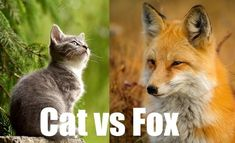 Fox Eat, Animal Facts For Kids, Cat Biting, Fennec Fox, Grey Fox, Fox Hunting, Feral Cats, Cheetahs