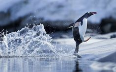 Happy feet: A Gentoo Penguin walks on the shoreline of Wiencke Island in Antarctica. The penguin appears to walk on water. Penguins And Polar Bears, Baby Penguins, Penguin Life, Penguin Craft, Gentoo Penguin, Cute Creatures, Beautiful Creatures, Ocean Life, Marine Life
