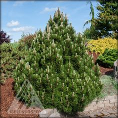 Getting into the holiday mood | The Amazing World of Conifers