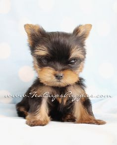 Browse tiny Teacup, Micro Teacup and Toy Yorkshire Terrier puppies for sale. Browse to find the tiniest and cutest Yorkie puppies for sale in South Florida area Teacup Yorkie For Sale, Teacup Cats, Yorkie Puppy For Sale, Teacup Puppies For Sale, Toy Puppies, Yorkie Puppies, Yorkies, Toxic Plants For Cats, Toy Yorkshire Terrier