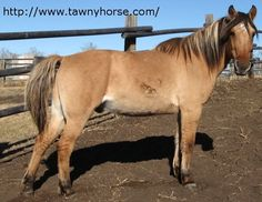 arabian fjord cross | Bay Dun Fjord Arabian cross. Learn more about horse colours and horse ...