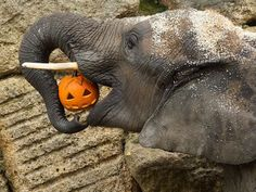 1000 images about elephants and pumpkins on pinterest for How to carve an elephant on a pumpkin