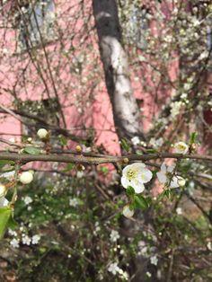#sakura #blossom #spring
