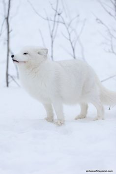 The beautiful white Arctic fox in a snow covered landscape. Check out more amazing photos of the Arctic fox on Pictures of the Planet - http://www.picturesoftheplanet.com/animals/arctic-fox-pictures/