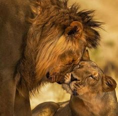 All That Matters, Lion, Animals, Leo, Animales, Animaux, Lions, Animal, Animais