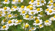 chamomile essential oil - one of the best essential oils for a better night's sleep Chamomile Oil, Chamomile Essential Oil, Best Essential Oils, Roman Chamomile, Chamomile Growing, Camomille Romaine, Peony Root, Ground Cover Plants, Herb Seeds
