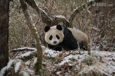 Wild population of giant pandas is divided by mountain ranges to six main isolated populations, who live respectively in Qinling, Minshan, Qionglai, Daxiangling, Xiaoxiangling and Liangshan mountains.  iPanda.com