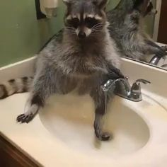 "909 Likes, 47 Comments - Raccoon Lovers (@raccoon_lovers_) on Instagram: "" Double Tap & Tag a Friend Below⤵ ⛧⛧⛧ ⛧⛧⛧ Follow Us If You Love Raccoons ❤️ Tag…"""