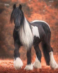 Lovely horse 😍😍 Tag someone who loves horses. Cute Horses, Pretty Horses, Beautiful Horses, Animals Beautiful, Horse Photos, Horse Pictures, Gypsy Horse, Gypsy Vanner Horses, Indian Horses