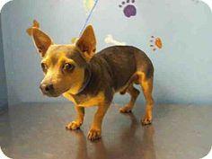 Houston, TX - Chihuahua Mix. Meet REDDY, a dog for adoption. http://www.adoptapet.com/pet/12683133-houston-texas-chihuahua-mix