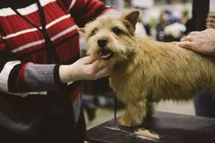 Norfolk Terrier    The 2013 Seattle Kennel Club All Breed Show brings thousands to the CenturyLink Event Center in Seattle, WA. The show features agility trials, information about different breeds, breed competitions and more. March 9th 2013. (Joshua Lewis / KOMO News)