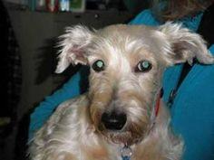 07/09/14 Still listed  Burnsie - 10 rs old Scottish Terrier Scottie • Senior • Female • Small Oklahoma Westie Rescue Bixby, OK  http://www.petfinder.com/petdetail/21334462