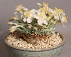 суккулент В культуре распространен подвид Avonia quinaria ssp. alstonii. Синонимы: Anacompseros alstonii, Anocompseros quinaria.