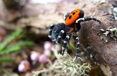 The Ladybird Spider