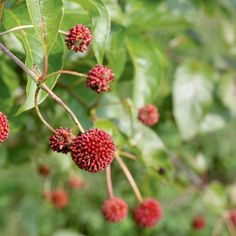 Sugar Shack™ buttonbush has amazing spherical white flowers in summer and brilliant red fruit in fall...the rest of the time, its super-glossy foliage makes it an excellent addition to your garden, especially if you have very wet soils. http://emfl.us/_1Fd