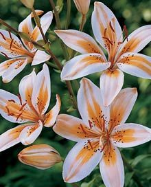 "Asiatic Lily Bulbs ""Orange Electric"" creamy-white with bright orange streaks Bulb Flowers, Flowers Nature, Asian Flowers, Amazing Flowers, Beautiful Flowers, Lily Bulbs, Calla, Oriental Lily, Asiatic Lilies"