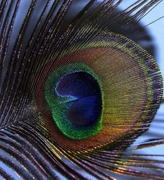 peacocks - Google Search