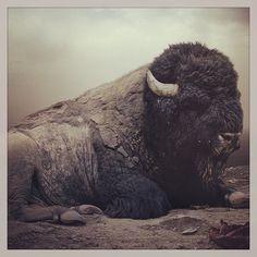 Buffalo.